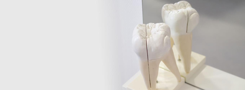2 Zahnmodelle in unserer Zahnmedizin CenDenta